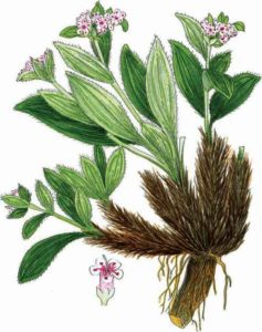 The Jatasmani/Spikenard Plant
